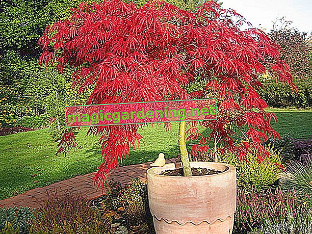 Japanese maple - ideal for the balcony
