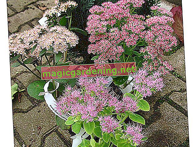 Sadite biljku sedum u vrt ili u posudu