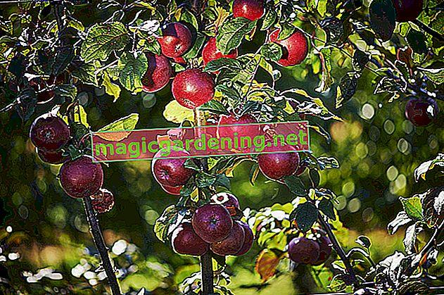 Ljetna rezidba kao mjera održavanja stabla jabuke