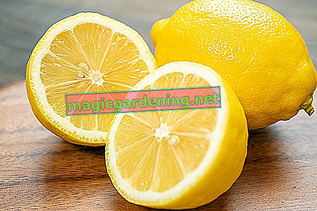 Čuvanje limuna - na ovaj način pravilno čuvajte žute plodove