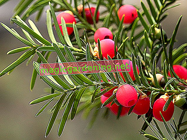 The yew tree does not bear cones but fruit