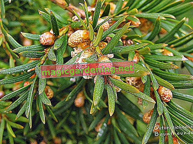 Yew needles strongly - why does the yew lose needles?