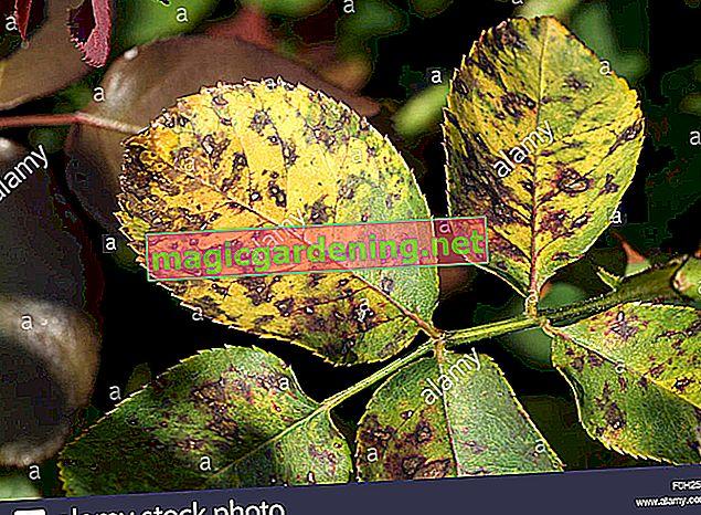 Quando i ciliegi ottengono foglie marroni