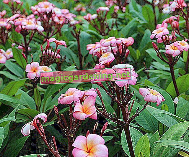 Il terreno giusto per la plumeria (frangipani)