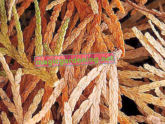 Panicle hydrangea: Organic fertilization is usually sufficient