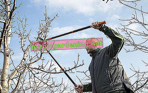 Pruning plum tree - tutorial for beginners