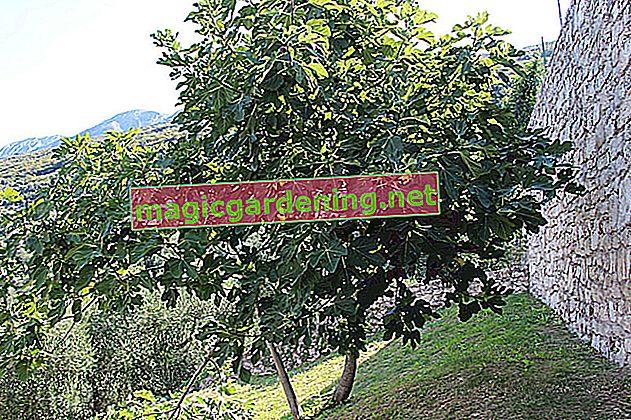 A fig tree as a houseplant