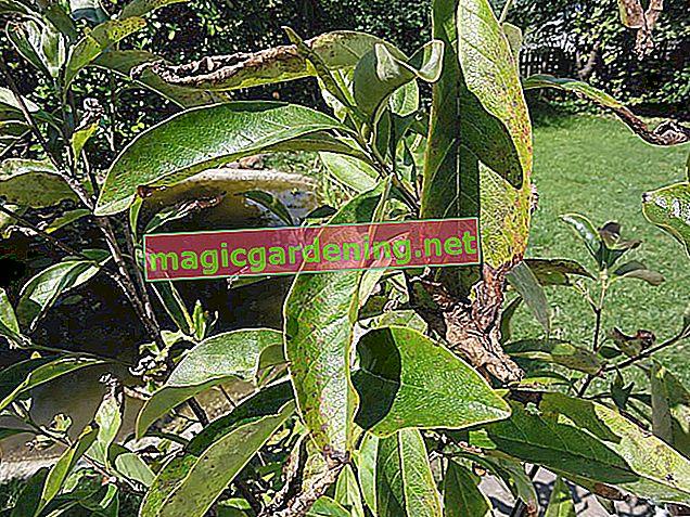 Common diseases in magnolias