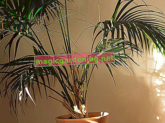 Do not water the Kentia palm too much