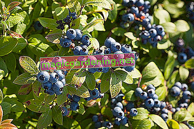The different varieties of cultivated blueberries
