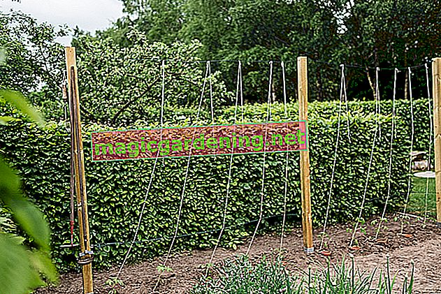 I pomodori possono essere raccolti verdi?