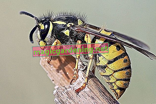 German wasp - life for the welfare state