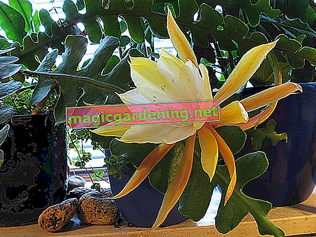 Tips for caring for Epiphyllum anguliger