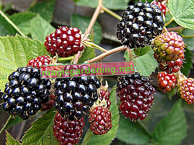 The ideal location for blackberries in the garden