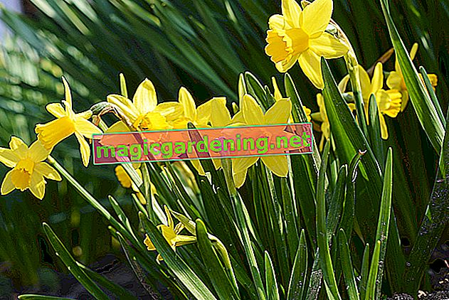 The daffodils have faded: what to do now