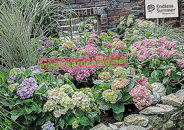 Krevet hortenzije, cvjetni vrtni san