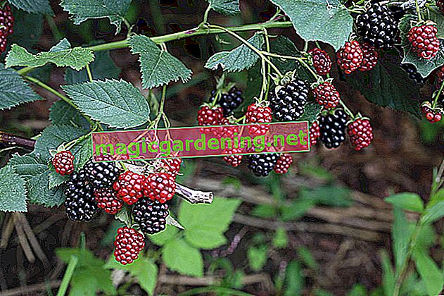 Freeze blackberries in advance