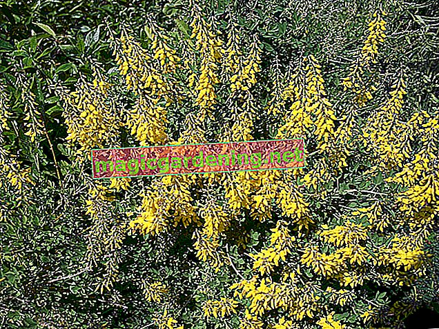 Is the real gorse poisonous?