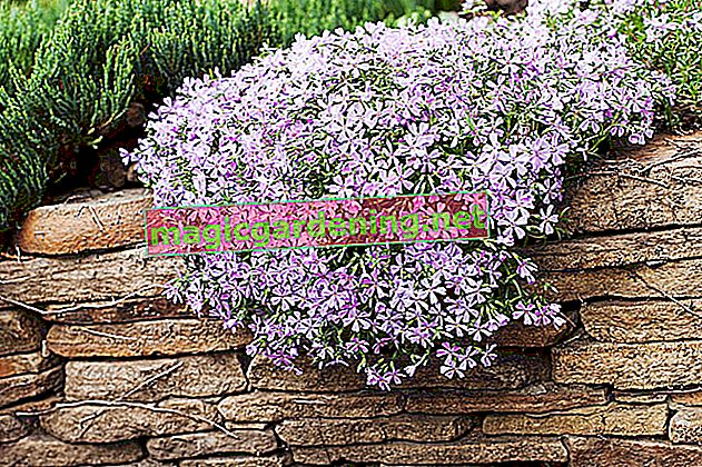 Upholstery phlox: plant and care