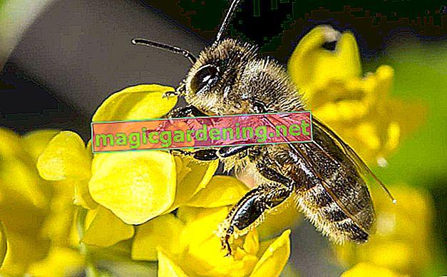 Yaban arıları ve arılar arasındaki fark