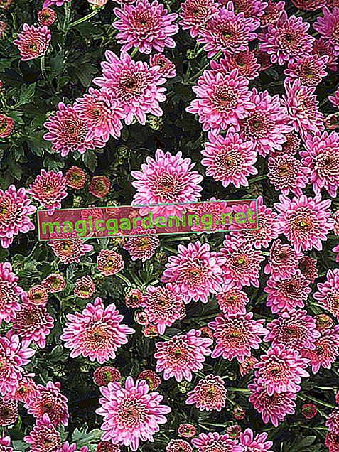 Jsou chryzantémy odolné?
