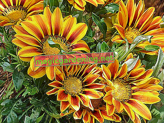 Gazania: planting and caring for (midday gold)