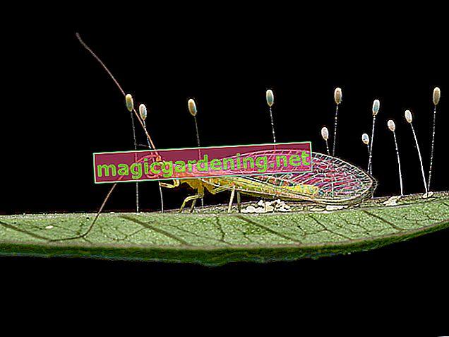 Lacewing: Güzel, faydalı böcekler