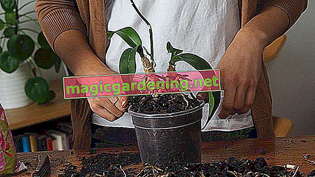 Transplantace stromů Cypress - důležité tipy!