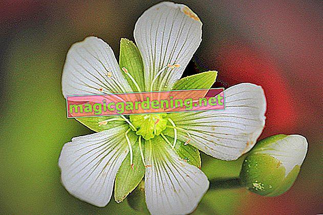 Sinekkapan bitkisinin çiçeğini kesmek daha iyi