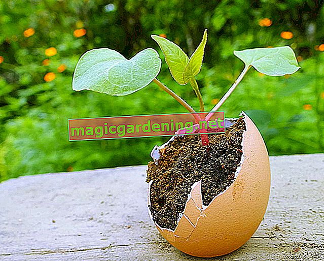 Propagate ornamental quinces - new bushes from cuttings
