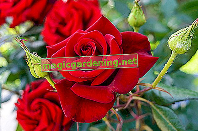 For healthy roses and more abundance of flowers - pruning faded roses