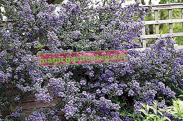 Propagate the evergreen as a ground cover yourself