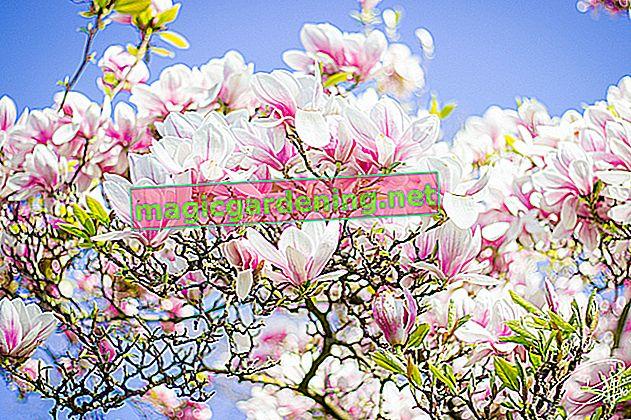 Büyülü Bellis - çiçeklenme dönemi hakkında bilgi
