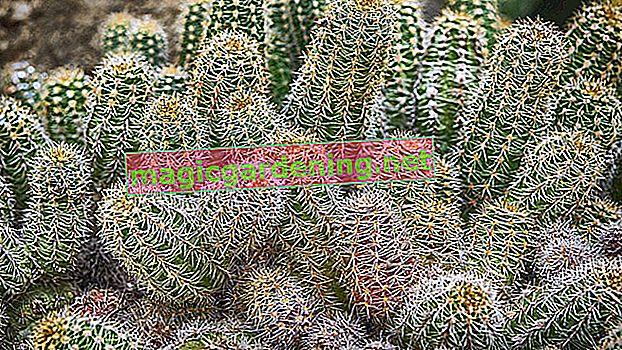 Cactus con macchie marroni: cosa fare?