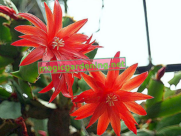 Easter cactus: the best care tips