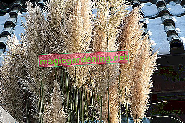 Zebra grass: care and pruning