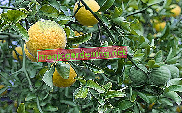 Repotting the orange tree properly - step by step