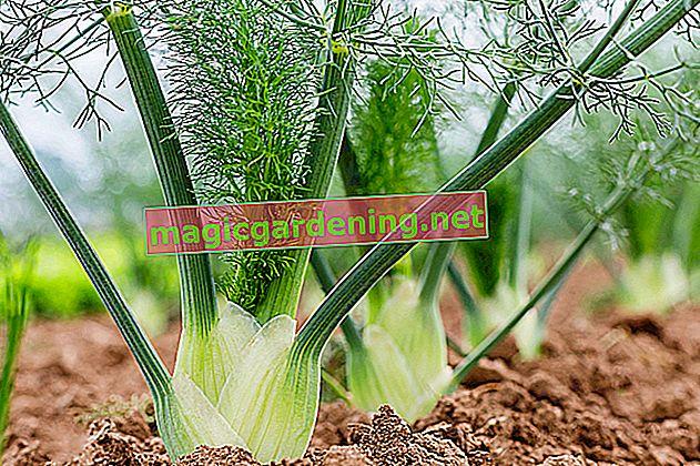 Uspješno uzgajanje komorača u vlastitom komadu povrća