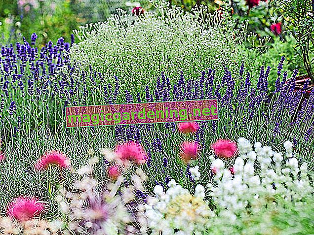 Do not cut faded lavender too late