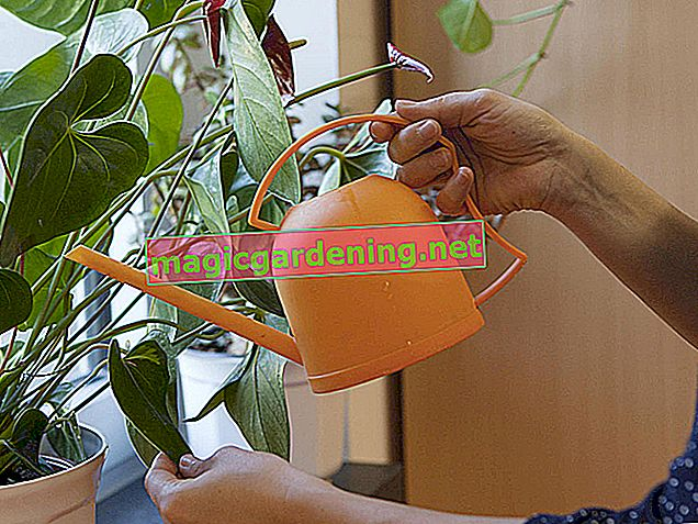 Repot the single leaf once a year