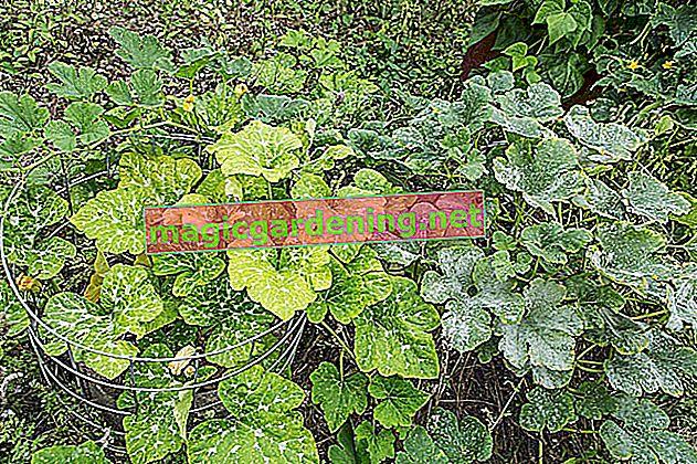 Hyazinthenzwiebeln richtig pflanzen, pflegen und lagern