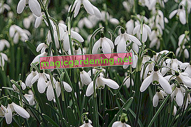 Snowdrops - flowering time, time to multiply and transplant