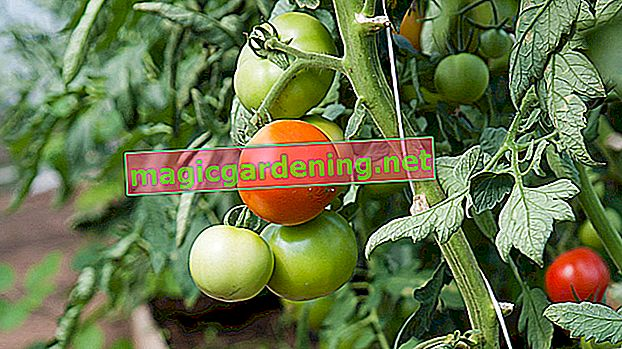 Correctly interpret and cure yellow leaves on tomatoes