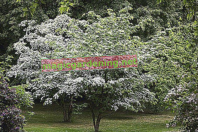 Cornus: characteristics and care of the dogwood