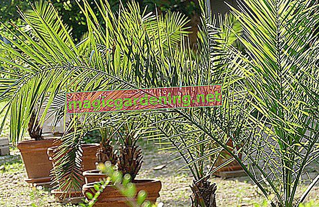 Di quali fertilizzanti hanno bisogno le palme e come viene eseguita la concimazione?