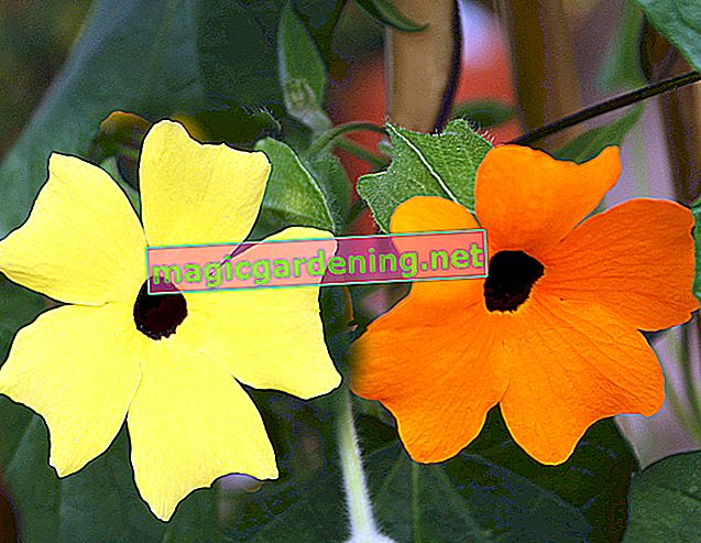 Plant and care for black-eyed Susan