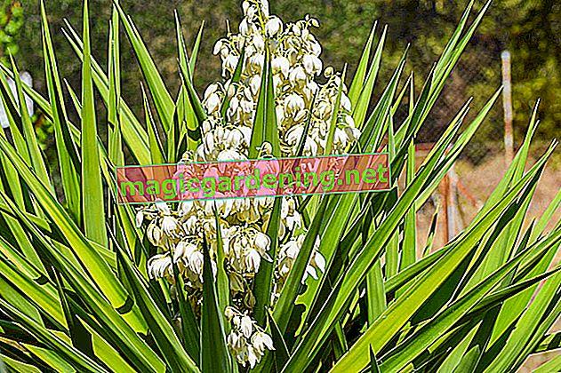 Cvjetovi palme Yucca ovisno o vrsti