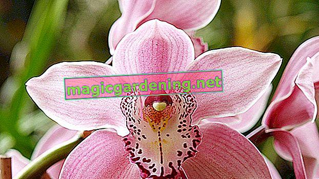 Kako liječiti orhideju mrtvim lišćem