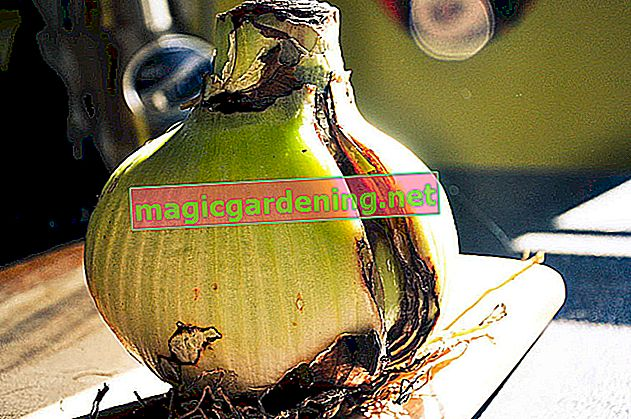 This is an ideal way to overwinter an amaryllis