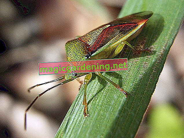 Leaf bug: types, characteristics and means of control